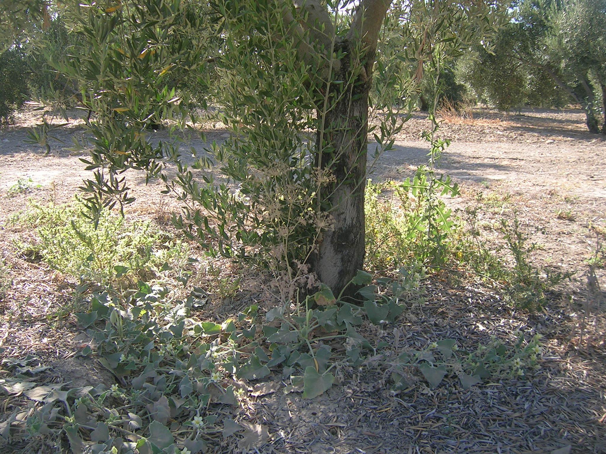 Aceite de oliva extra virgen olivar de plata lorite la for Como estan formados los suelos